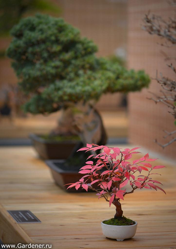 Японское искусство выращивания карликовых деревьев 27